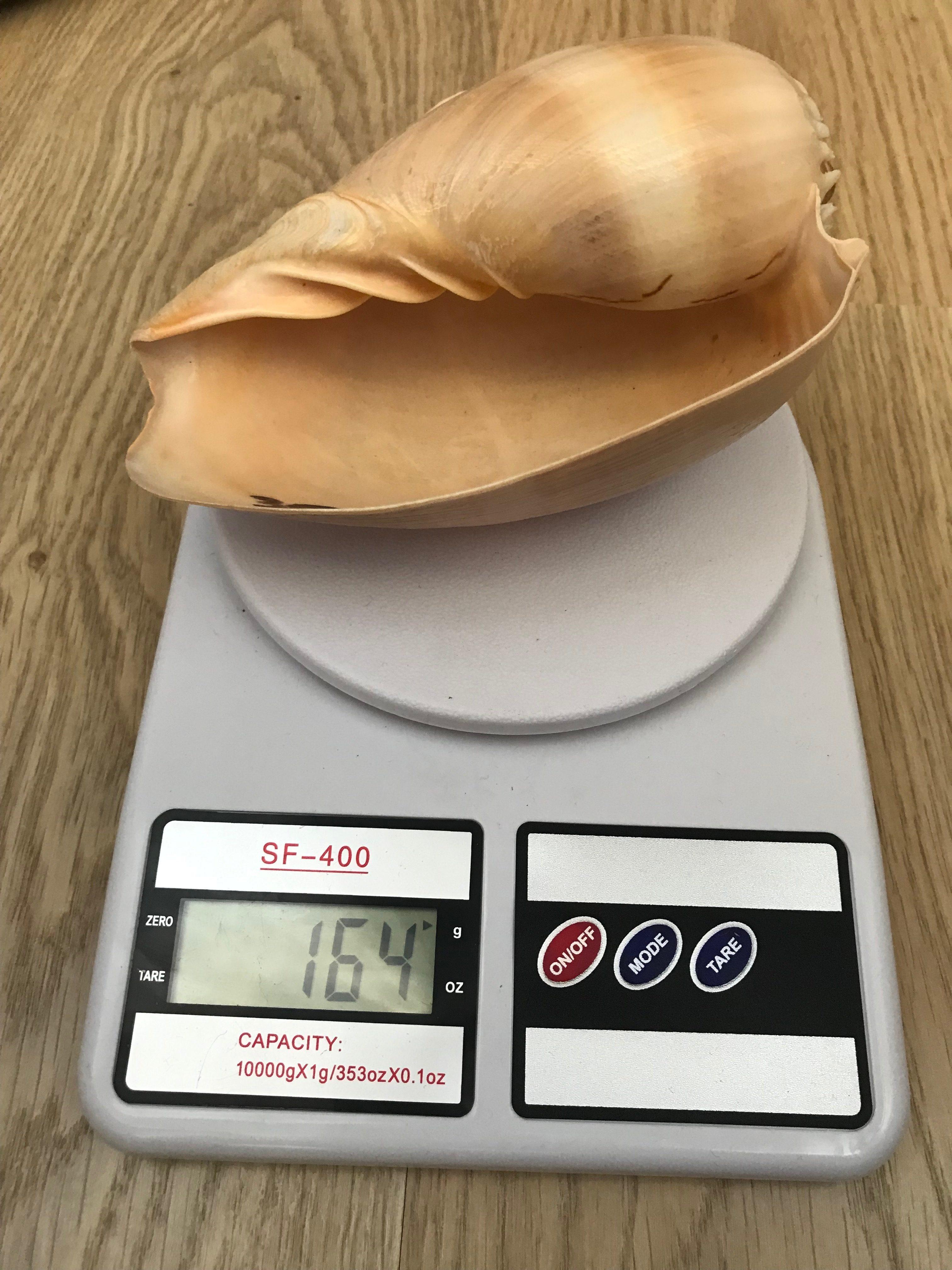 вес ракушки большой