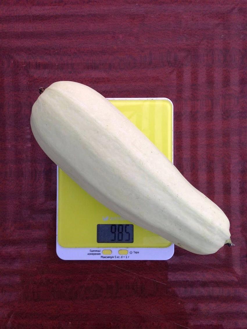 вес домашнего кабачка